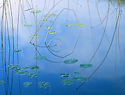 Reeds and lily pads create a striking minimalist design in the perfectly still waters of a small pond near Kalispell, Montana.