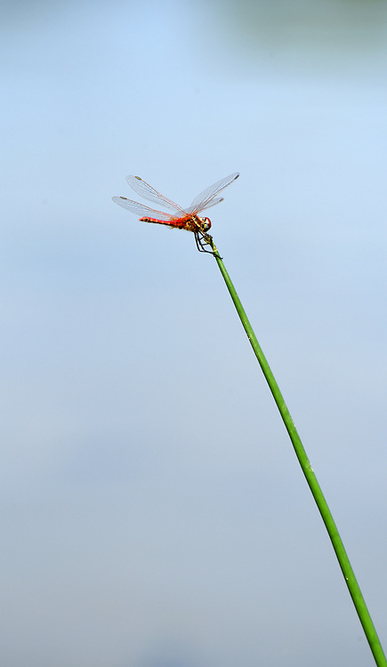 A single, orange dragonfly on a branch with a blue sky background. Photographed in Israel in August