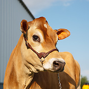 20210330 Patrice Jersey Cows and Calves