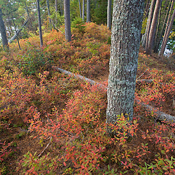 A pine forest with blueberries in the understory on Hammer Island in Seboeis Lake.  Near Millinocket, Maine.