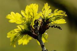 uercus robur