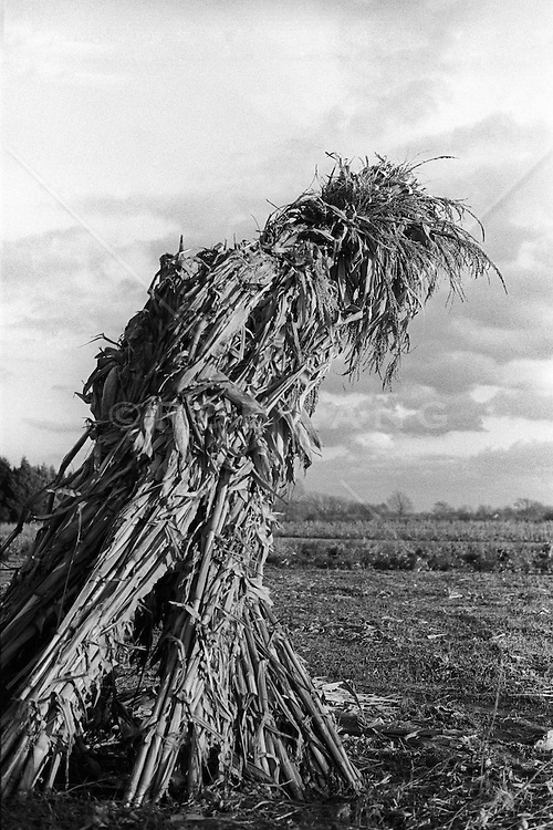 unusual figure made of dry cornstalks in a field