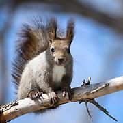 Portrait of the Japanese subspecies of Eurasian Red Squirrel (Sciurus vulgaris orientis)