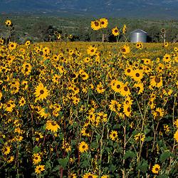 Monticello, UT..Field of common sunflowers, helianthus annus.  Abajo Mtns.