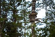 JÄMTLAND 2100622<br /> Lappugglan startar från sin gren under en naturtur i skogarna utanför Östersund.<br /> Foto: Per Danielsson/Projekt.P