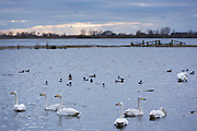 Group of Whooper Swan, Cygnus cygnus, with ducks in peaceful lake scene at Welney Wetland Centre, Norfolk, UK