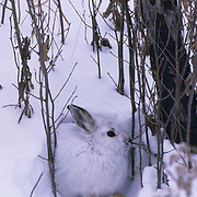 Snowshoe Hare, (Lepus americanus) In winter phase color. Southern Manitoba, Canada.