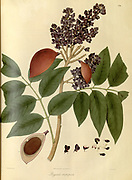 Pongamia atropurpurea [Millettia] From Plantae Asiaticae rariores, or, Descriptions and figures of a select number of unpublished East Indian plants Volume 1 by N. Wallich. Nathaniel Wolff Wallich FRS FRSE (28 January 1786 – 28 April 1854) was a surgeon and botanist of Danish origin who worked in India, initially in the Danish settlement near Calcutta and later for the Danish East India Company and the British East India Company. He was involved in the early development of the Calcutta Botanical Garden, describing many new plant species and developing a large herbarium collection which was distributed to collections in Europe. Several of the plants that he collected were named after him. Published in London in 1830