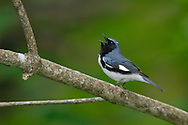 Black-throated Blue Warbler - Setophaga caerulescens - Adult male breeding