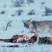 Coyote, (Canis latrans) feeding on carcass of winter killed Elk, (Cervus canadensis). Yellowstone National Park.