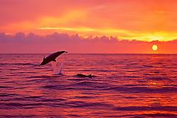 silhouette of Hawaiian spinner dolphins, Stenella longirostris longirostris, leaping at sunset off Kealakekua Bay, Big Island, Hawaii, USA, Pacific Ocean
