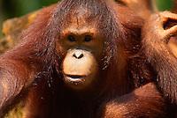Singapour. Zoo de Singapour. orang-outan de Sumatra. // Singapore. Zoo. Orang-utan from Sumatra island.