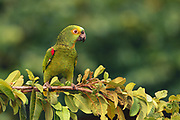 Blue-fronted Parrot<br />Amazona aestiva<br />Piaui State, NE BRAZIL.  South America<br />Range: e. Brazil