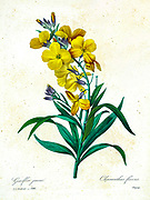 19th-century hand painted Engraving illustration of a Wallflower. Erysimum flavum subsp. altaicum [as Cheiranthus flavus], by Pierre-Joseph Redoute. Published in Choix Des Plus Belles Fleurs, Paris (1827). by Redouté, Pierre Joseph, 1759-1840.; Chapuis, Jean Baptiste.; Ernest Panckoucke.; Langois, Dr.; Bessin, R.; Victor, fl. ca. 1820-1850.