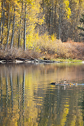 """""""Beaver at Marlette Lake 1"""" - This busy beaver was photographed moving a piece of aspen at Marlette Lake, Nevada."""