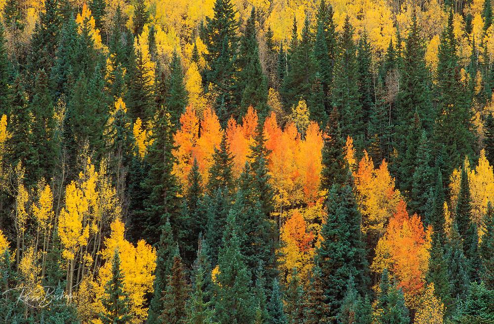 Fall aspens and firs in the San Juan Mountains, San Juan National Forest, Colorado USA