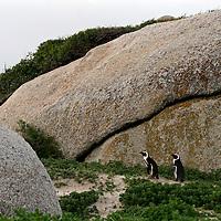 Africa, South Africa, Simons Town, Boulders Beach. African Penguin colony at Boulders Beach near Simons Town on False Bay.