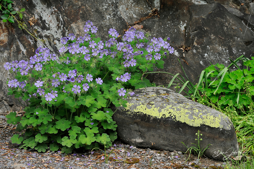 Blue geraniums- informal garden setting, Greater Sudbury, Ontario, Canada
