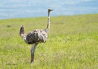 Female Common Ostrich, Struthio camelus, in Lake Nakuru National Park, Kenya