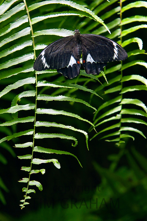 Adult male Orchard Butterfly on a fern leaf, North Queensland, Australia