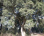 Evergreen Holm Oak or Holly Oak tree, Quercus ilex, in winter sunshine, Suffolk, England