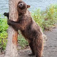 Grizzly bear scratching its chest on a tree near Nakina River in British Columbia Canada.