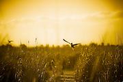 Flight, Fivebough Wetlands, Leeton, NSW, Australia