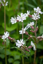 White Campion. Silene latifolia syn. Melandrium album
