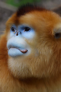 Portrait of a Golden Snub-nosed Monkey, Rhinopithecus roxellana, Foping Nature Reserve, Shaanxi, China