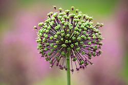 Seedhead of Allium hollandicum 'Purple Sensation' AGM - Dutch garlic