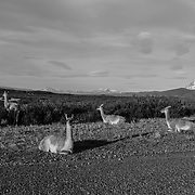Guanacos lounging and feeding by the roadside
