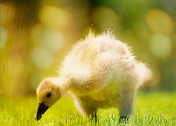 A gosling pecks in the grass seeking out a meal