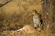 Leopard ((Panthera pardus) feeding on Impala<br /> Moremi Game Reserve, Okavango Delta<br /> BOTSWANA<br /> RANGE: Sub-Saharan Africa. Fragmented populations in Pakistan, India, Sri Lanka, Indochina, Malaysia, and China.<br /> IUCN: Near Threatened