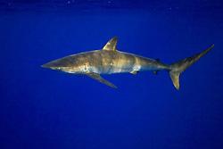 Silky Shark, Carcharhinus falciformis, off Kohala Coast, Big Island, Hawaii, Pacific Ocean.