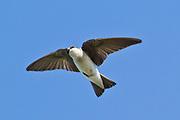 Tree Swallow  in flight .(Tachycineta bicolor).Bolsa Chica Wetlands,California