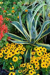 Agave americana 'Variegata' with Rudbeckia hirta 'Toto' in a pot display at Great Dixter
