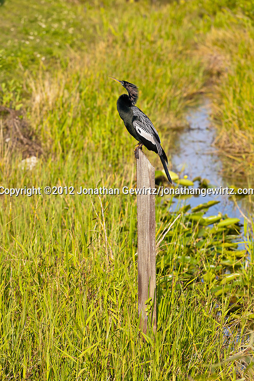 An Anhinga (Anhinga anhinga) perched on a water-level indicator post in a canal along the Anhinga Trail in Everglades National Park, Florida. WATERMARKS WILL NOT APPEAR ON PRINTS OR LICENSED IMAGES.