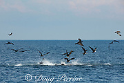 frenzied sardines make the sea surface boil as they frantically try to escape the attack of yellowfin tuna, Thunnus albacares, from below, and magnificent frigate birds, Fregata magnificens, from above, Costa Rica, Central America ( Eastern Pacific Ocean )