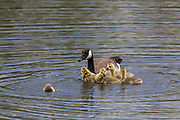 Canada geese goslings with adult