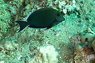 Brown Surgeonfish, Acanthurus nigrofuscus, (Forsskål, 1775), Maui Hawaii