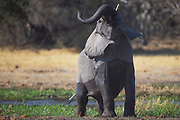 A bull elephant (Loxodonta africana) displaying as he comes out of the water, Okavango Delta, Moremi, Botswana
