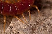 A tiger centipede (Scolopendra polymorpha),  Western Oregon.