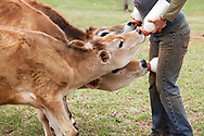 Suzanne Nelson of Reverence Farms in Saxapahaw, NC, has raised dairy cows for the past 8 years using a progressive approach in the dairy industry that allows each calf to stay nursing on its (or another) mother for about 8 months. This was the first time, due to a variety of circumstances, that she's had to bottle feed a handful of them. (photo by Lise Metzger)