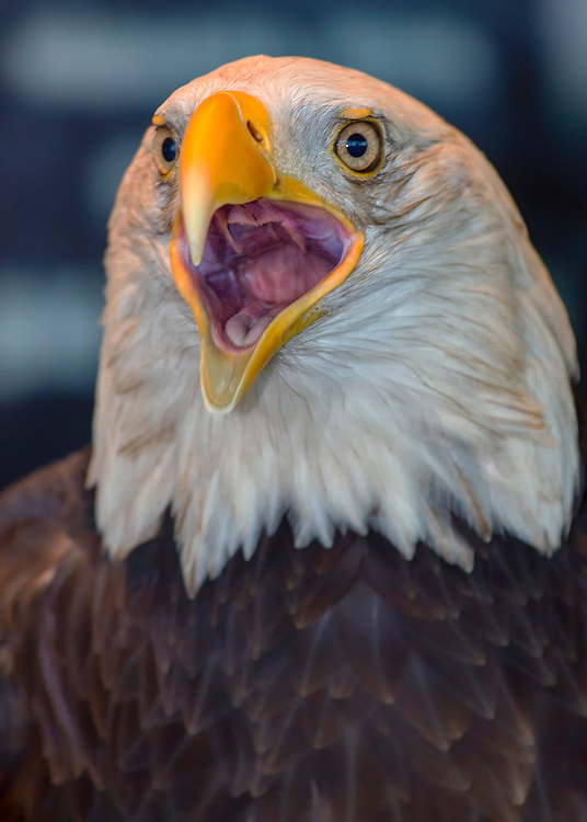 Few sounds symbolize American patriotism like the piercing shrill of a bald eagle. But just like George Washington and his cherry tree, that majestic call - is a myth. The screech associated with the bald eagle, in fact, belongs to a different bird. It's a cry that's synonymous with America's national bird. But there's a problem. If you were to look up at the bird making that sound in real life you wouldn't see a bald eagle. Unfortunately for the bald eagle, it has like a little cackling type of a laugh that's not really very impressive for the bird.<br /> <br /> The hole in the tongue is not for swallowing, it's for breathing. The bird trachea (wind pipe) comes up through the tongue. The esophogus is behind that. This is very functional, actually. The eagle's tongue also has sort of a barb on it. When they are swallowing something large, like a fish, they will stick out their tongue so the barbs go past the morsel, then pull their tongue back in. The tips of the barb will pull the food back into their throat, where it can be swallowed. If an eagle's windpipe were behind the tongue like a human, they wouuld be unable to breath with a large piece of prey or whole fish in their their throat.  A situation like that is where the tongue comes into play. They will stick out their tongues to allow the barbs to get the bite of food, but while the tongue is extended, they will open the hole in their tongue to take a breath of air.