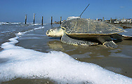 A Kemp's ridley turtle with a satellite tracking tag mounted on its shell heads into the Gulf of Mexico in Galveston, Texas. Eggs laid by the turtle were collected by scientists and taken to Padre Island National Seashore for incubation by the National Parks Service.