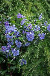 Clematis 'Perle d'Azur' growing over Larix decidua - Larch