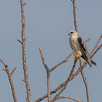 The black-winged kite (Elanus caeruleus), also known as the black-shouldered kite, is a small diurnal bird of prey in the family Accipitridae best known for its habit of hovering over open grasslands in the manner of the much smaller kestrels.