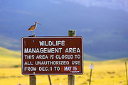 Marbled Godwit on the Blackleaf Wildlife Management Area. Rocky Mountain Front, Montana.