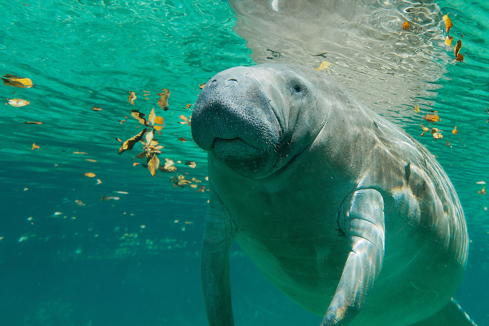 Manatee visits with the photographer in Three Sisters Spring, Crystal River, Florida