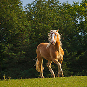 20110813 Haflinger Horses